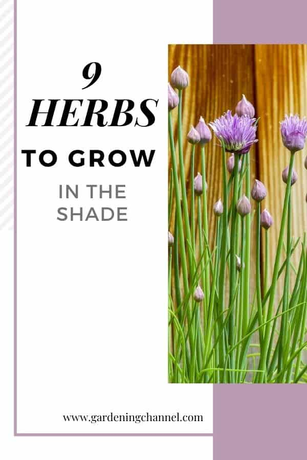 chives against fence with text overlay nine herbs to grow in the shade