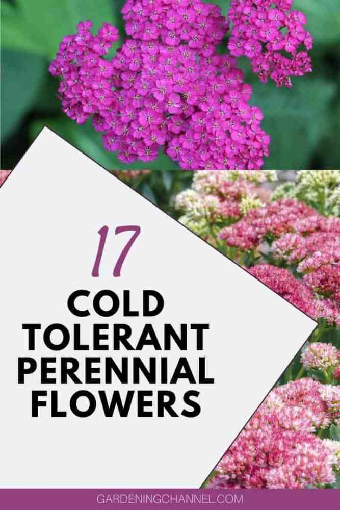 yarrow and sedum with text overlay 17 Cold Tolerant Perennial Flowers