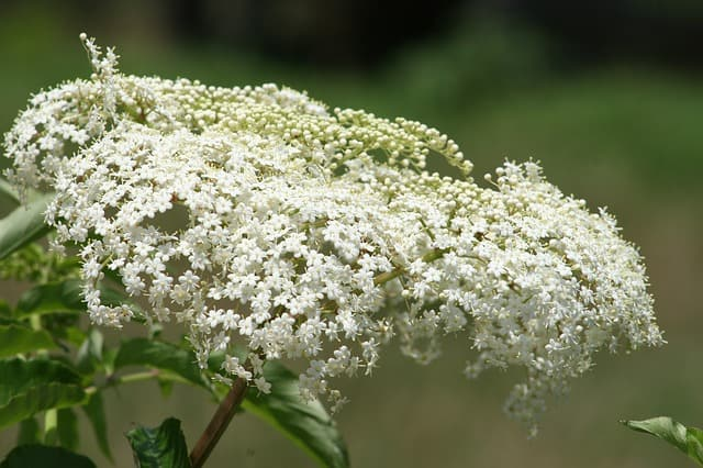 growing baby's breath