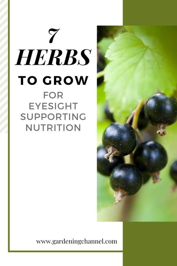black currant with text overlay seven herbs to grow for eyesight supporting nutrition