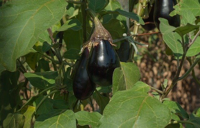 growing eggplant in the garden