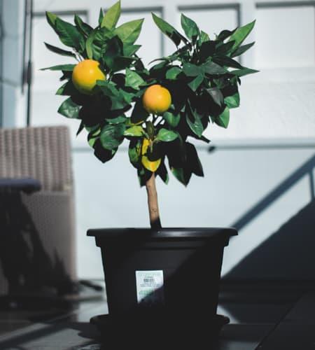 Lemon on gray plastic pot