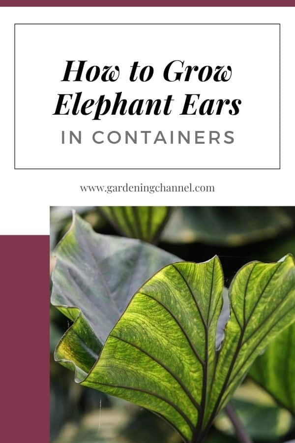 taro with text overlay how to grow elephant ears in containers