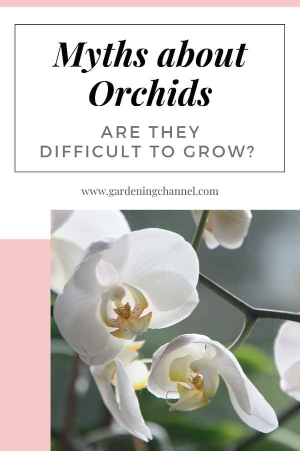 white orchid bloom with text overlay myths about orchids are they difficult to grow