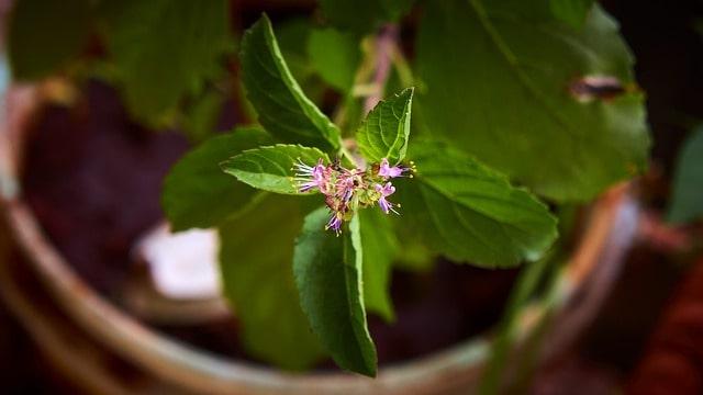 growing rare herbs holy basil