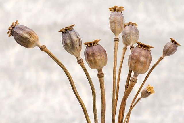 drying poppy seed heads