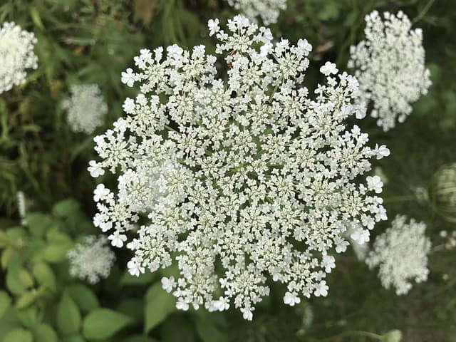 growing queen anne's lace