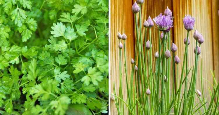 chervil and chives herbs to plant in the shade