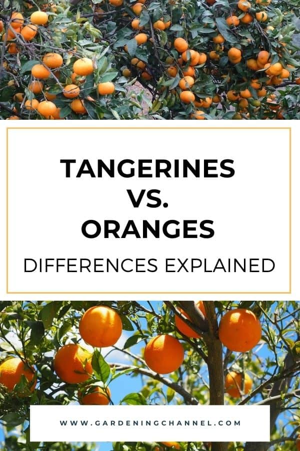 tangerine tree and orange tree with text overlay tangerines vs oranges differences explained