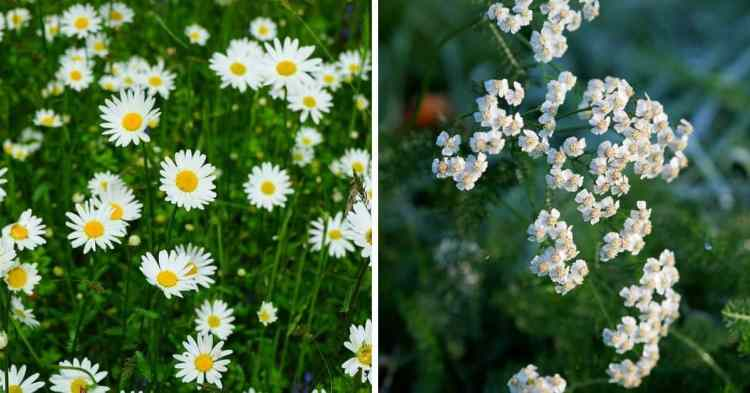 herbs that are mistaken for weeds