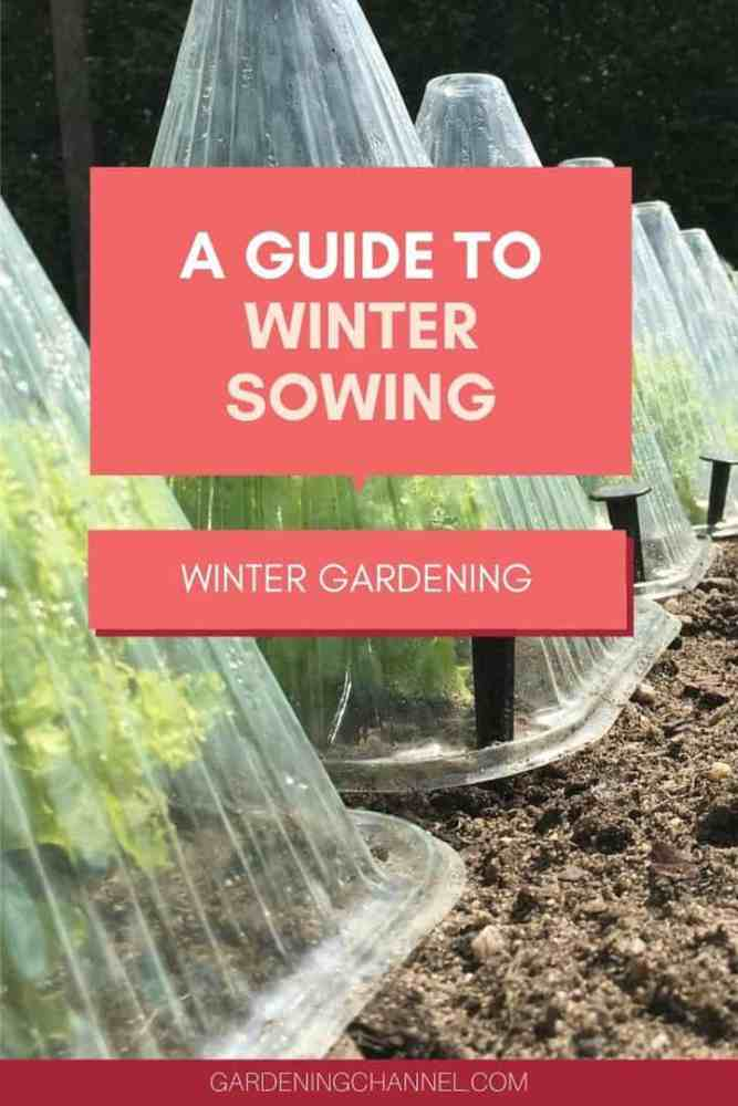 endive in garden with text overlay a guide to winter sowing