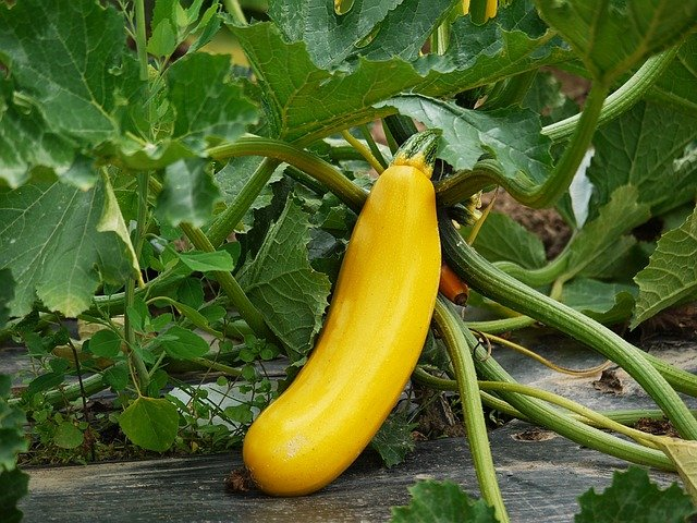 growing zucchini in the garden