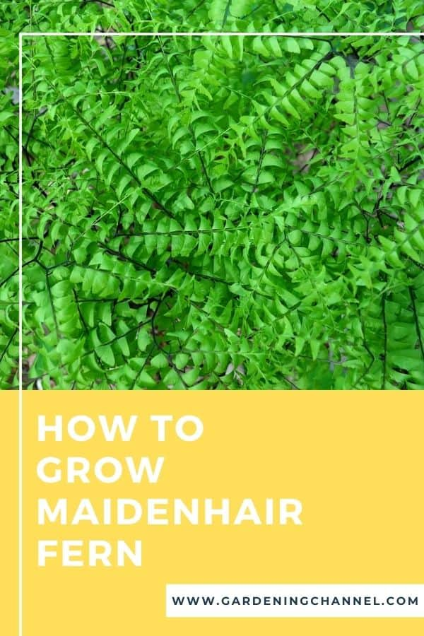 adiantum with text overlay how to grow maidenhair fern