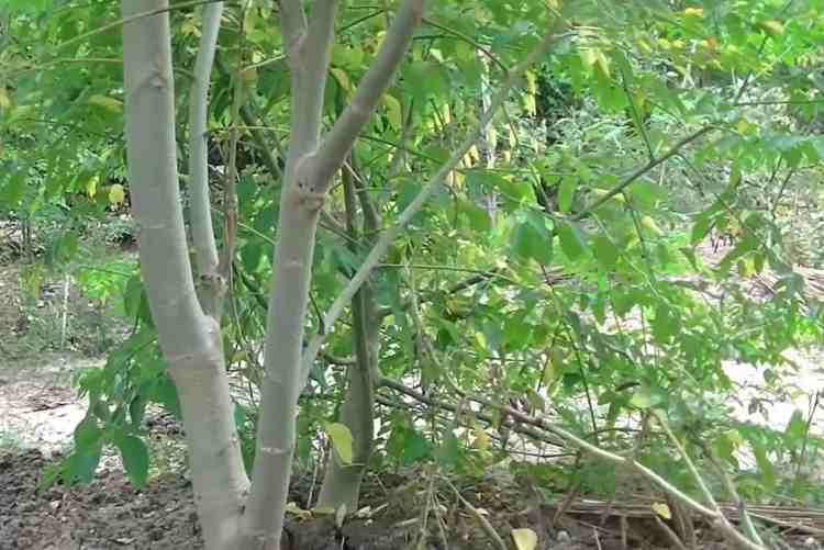 moringa tree growing