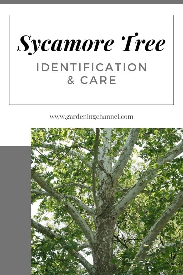 Sycamore Tree with text overlay Sycamore Tree identification and care