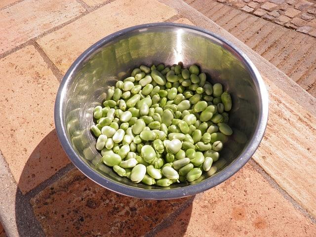 growing broad beans