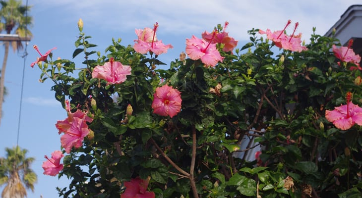 hibiscus tree with high flower production, hibiscus landscapes