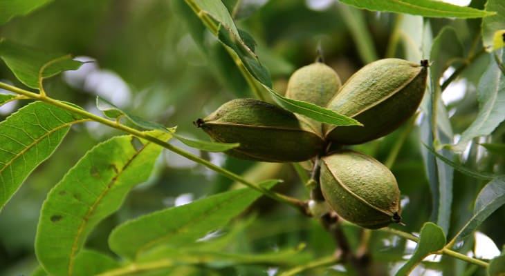 pecan tree diseases