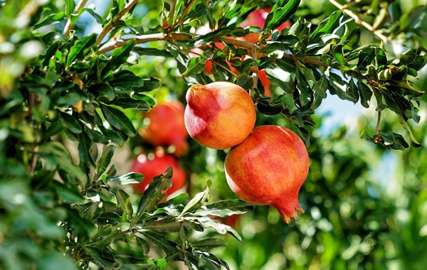varieties of pomegranate trees to plant indoors