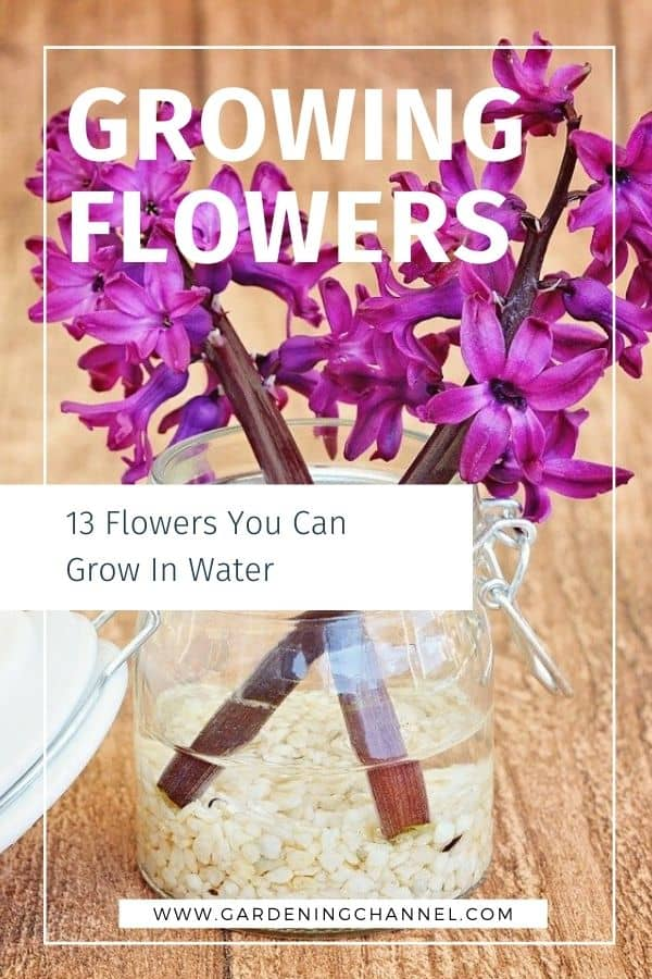hyacinth with text overlay growing flowers thirteen flowers you can grow in water