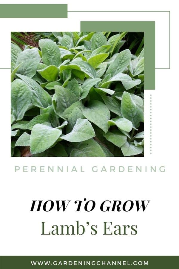 lambs ear in flower bed with text overlay perennial gardening how to grow lambs ear