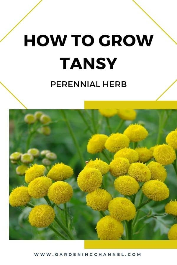 tansy with text overlay how to grow tansy perennial herb