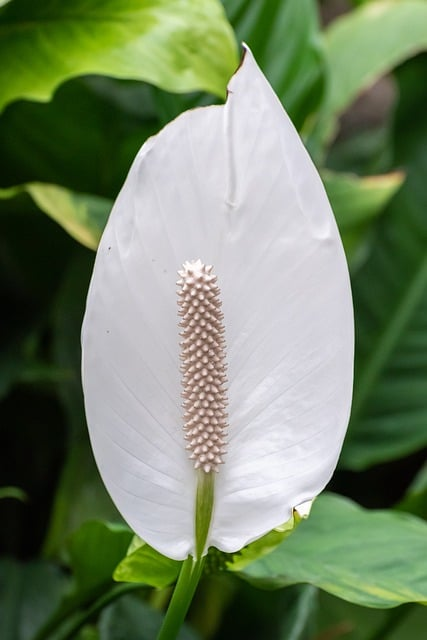 growing peace lily in water