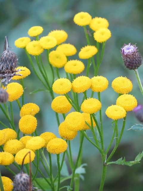 growing tansy