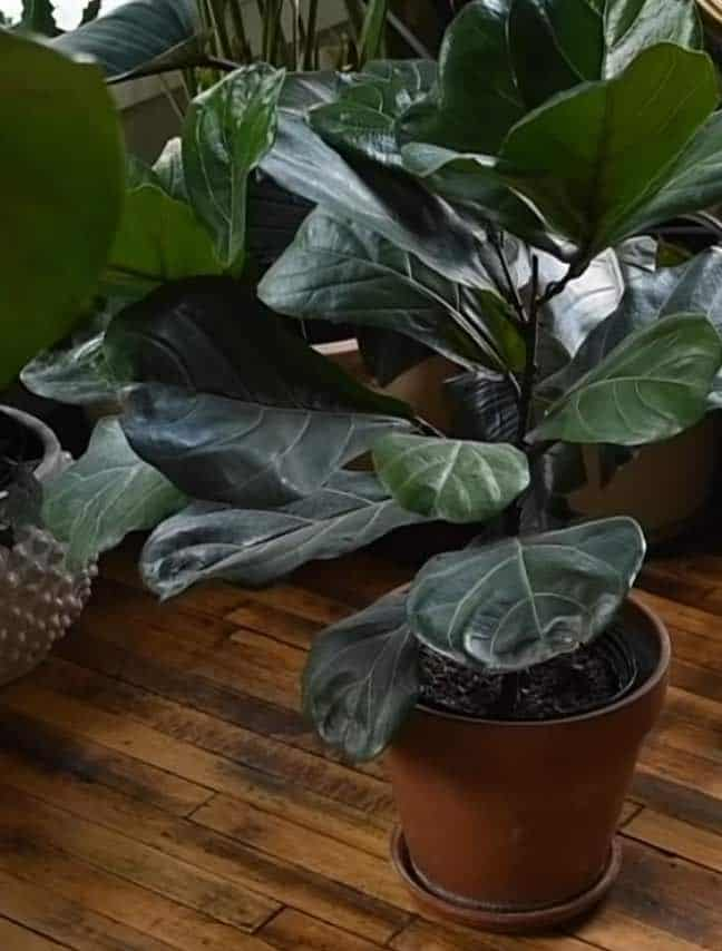 fiddle leaf fig indoor plant