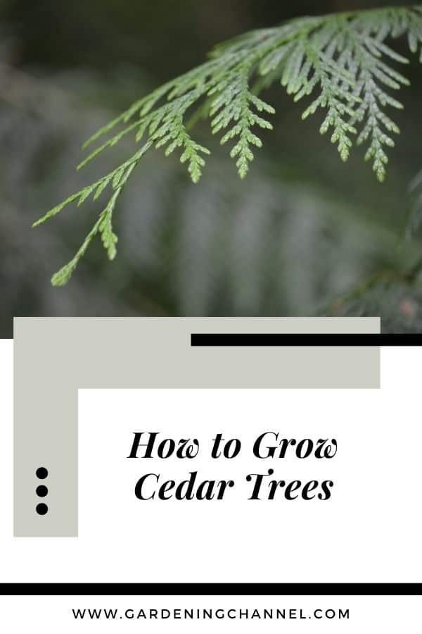 cedar tree limb with text overlay how to grow cedar trees
