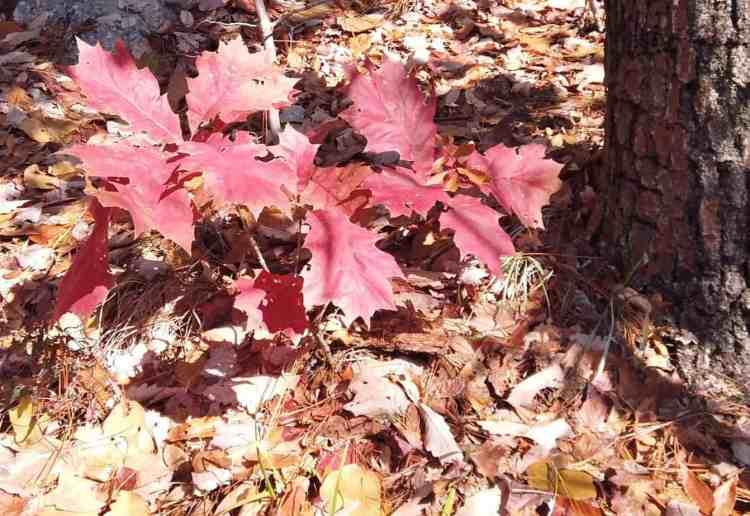 northern red oak sapling