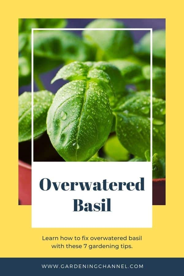 watered basil with text overlay overwatered basil learn how to fix overwatered basil with these seven gardening tips
