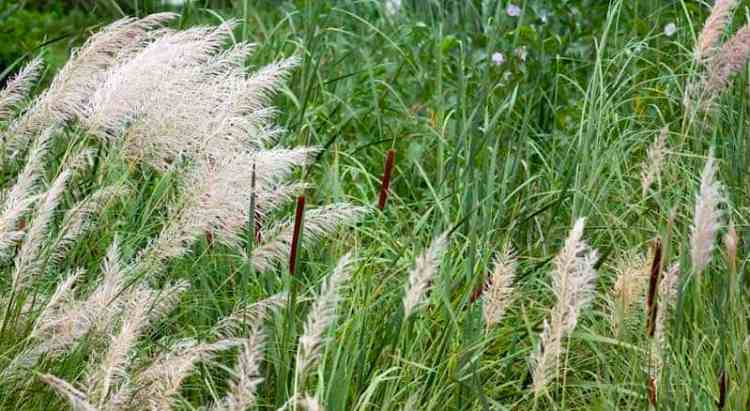 caring for ornamental grasses
