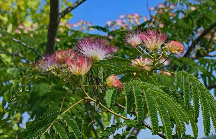 fuzzy pink flowers on a mimosa tree
