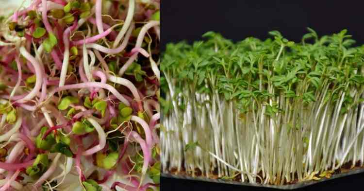 sprouts and microgreens are different things