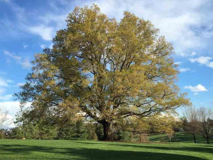 california white oak tree