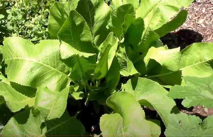 horseradish plant growing
