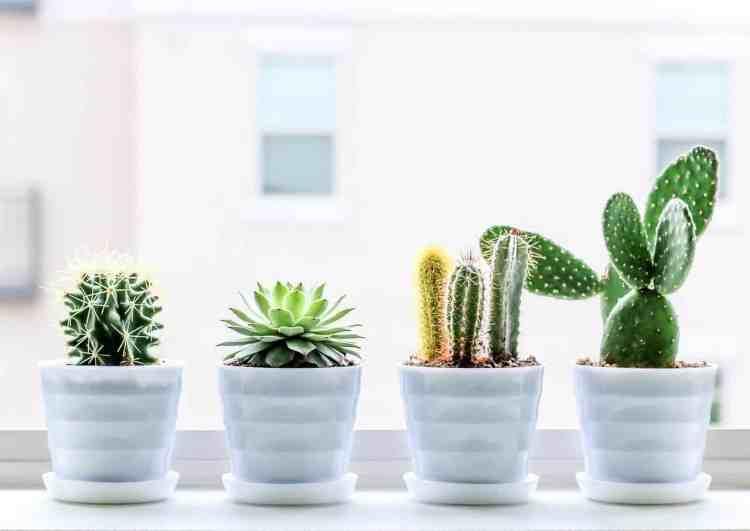 Cacti - Succulent