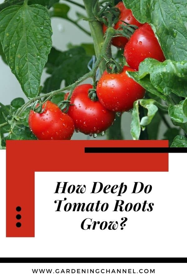 tomato plant with text overlay how deep do tomato roots grow