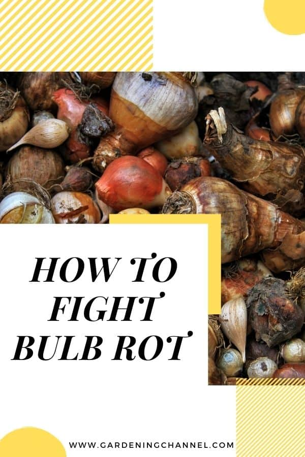 tulip and onion bulbs with text overlay how to fight bulb rot