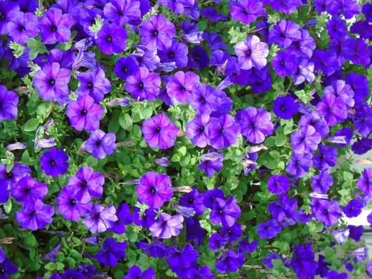 Impatiens purple plant