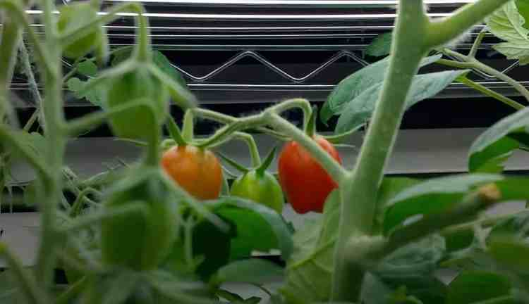 indoor tomatoes under a grow light
