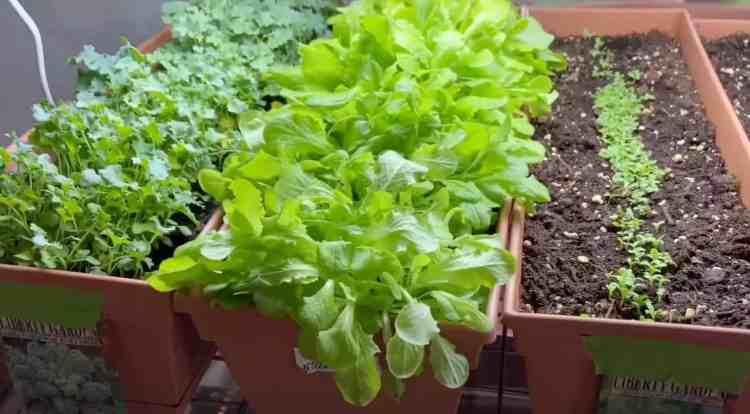 lettuce growing under grow lights