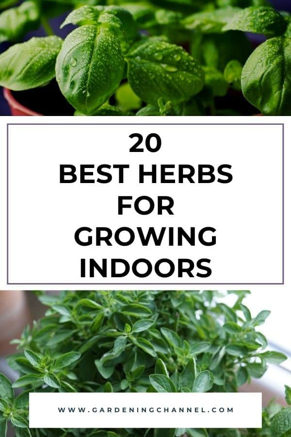 basil and oregano growing inside with text overlay twenty best herbs for growing indoors
