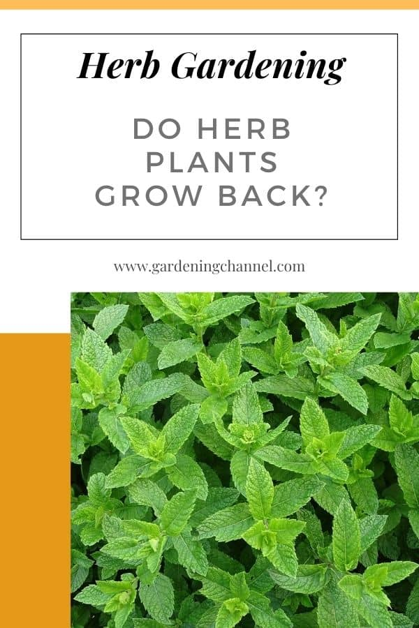 mint with text overlay herb gardening do herb plants grow back