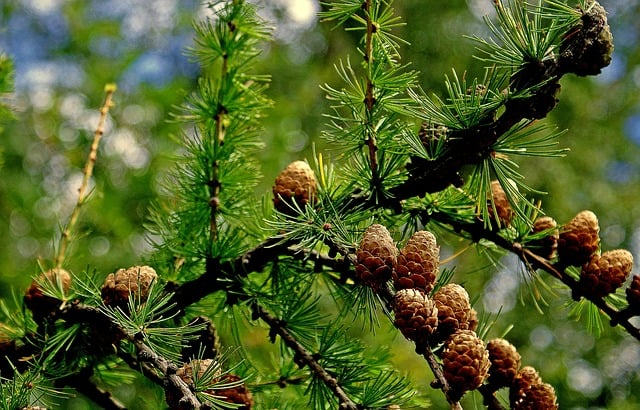 growing larch tree