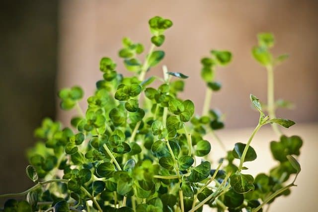 growing thyme indoors