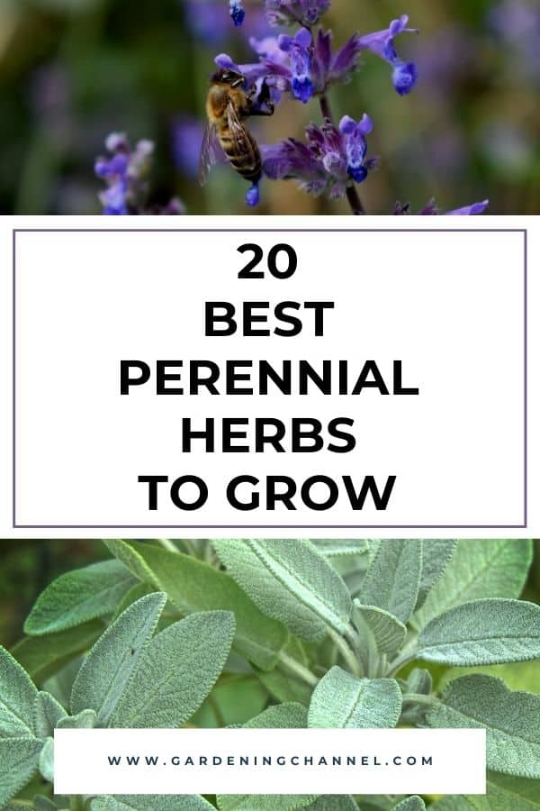 catnip sage with text overlay twenty best perennial herbs to grow