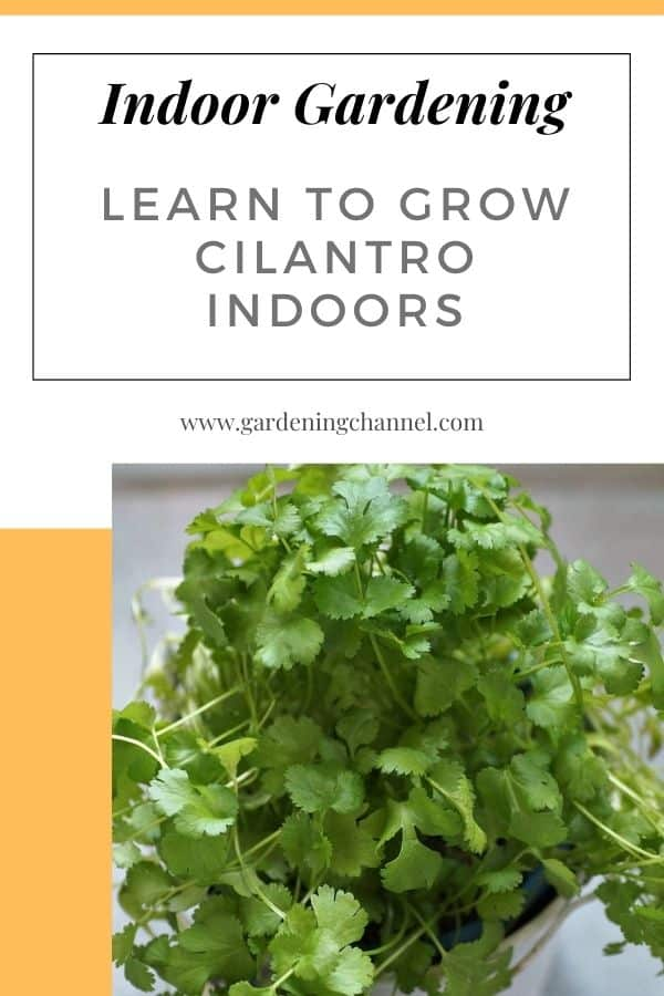 cilantro growing indoors with text overlay indoor gardening learn to grow cilantro indoors