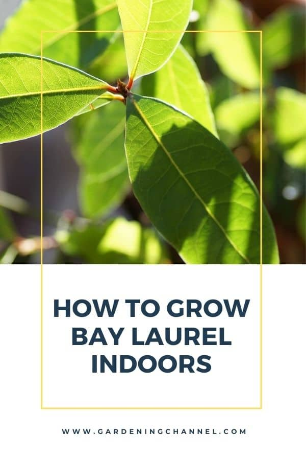 bay laurel plant indoors with text overlay how to grow bay laurel indoors